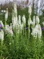 Liatris Spicata Alba (Pack of 10 Bulbs)