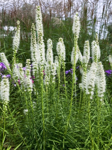 Liatris Spicata Alba (Pack of 10 Bulbs)