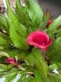 Red Majestic Calla