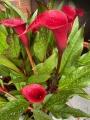 Zantedeschia 'Majestic Red' (Pack of 3 Bulbs)