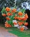 Orange Begonia Pendula
