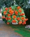 Begonia Pendula Orange (Pack of 5)