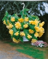 Begonia Pendula Yellow (Pack of 5)