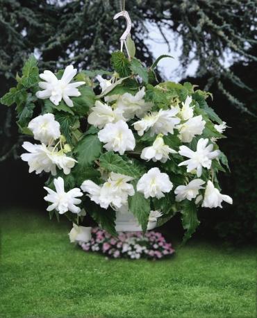 Begonia Pendula White (Pack of 5)