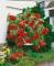 Red Begonia Pendula