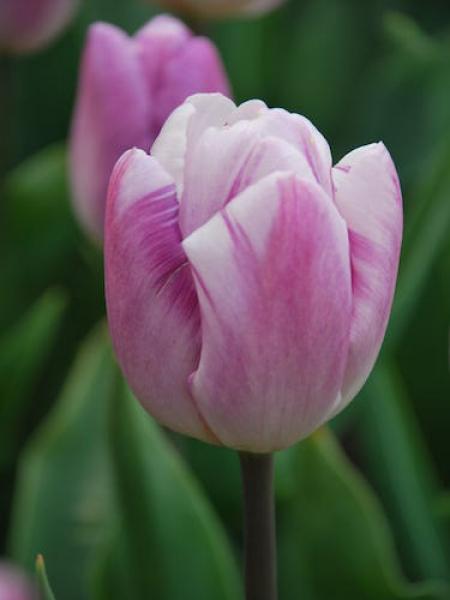 Tulip 'Flig Flag'