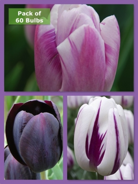 Purple Blend Tulip Collection (Pack of 60 bulbs)