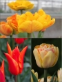 Sunset Cocktail Tulip Collection (Pack of 60 bulbs)