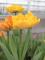 Sunlover Yellow Tulip