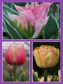 Fruit Salad Tulip Collection (Pack of 60 bulbs)