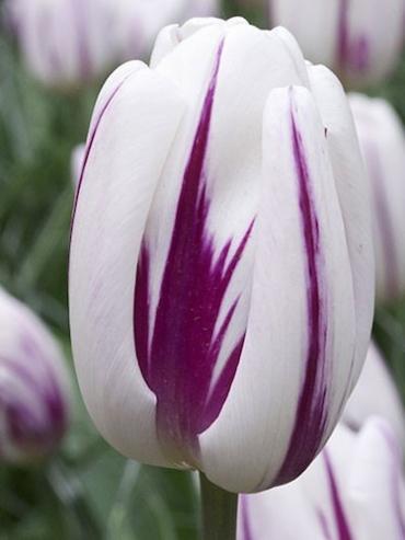 Tulip 'Flaming Flag' (Pack of 15 Bulbs)