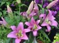 Myth Oriental Trumpet Lily