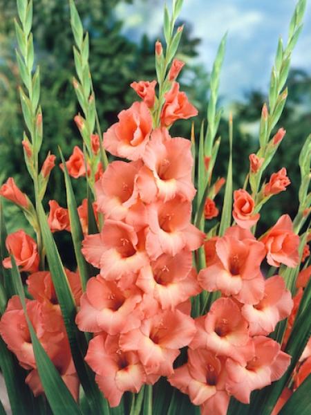 Gladiolus 'Jessica' (Pack of 15)