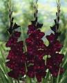 Gladiolus Plumtart