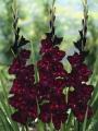 Gladiolus 'Plumtart' (Pack of 15)