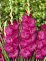 Gladiolus 'Fidelio' (Pack of 15)