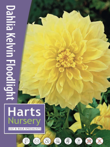 Dahlia 'Kelvin Floodlight' (Pack of 3 Tubers/Bulbs)