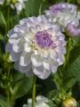 White and lilac dahlia