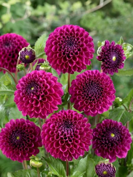 Dahlia 'Lilac Bull' (Pack of 3 Tubers/Bulbs)