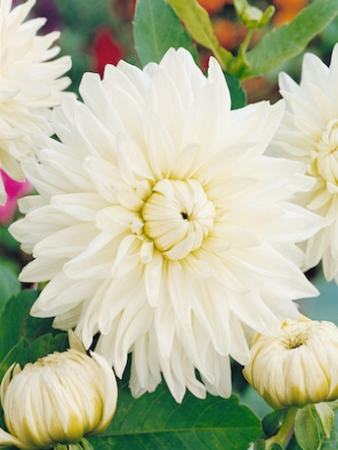 Dahlia 'White Perfection' (Pack of 3 Tubers/Bulbs)