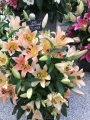 Zelmira Lilies in pot display
