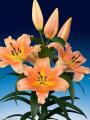 Zelmira Lily