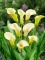 Zantedeschia 'Black Eyed Beauty' (Pack of 3 Bulbs)