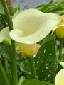 Snowstar Calla lily