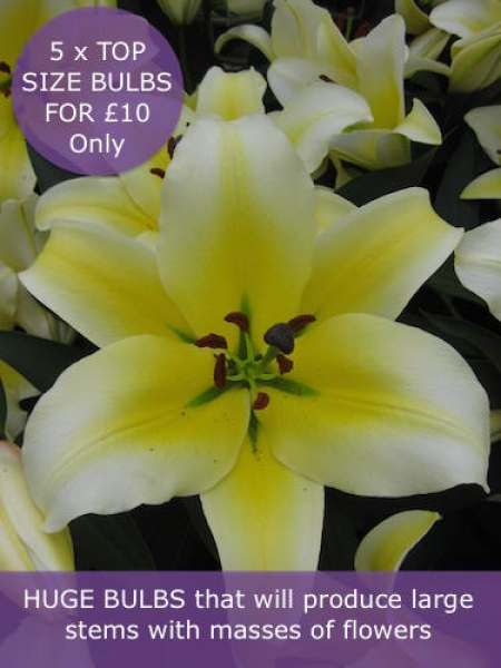 Giant Lily 'Conca D'Or' (Pack of 5 huge Bulbs)
