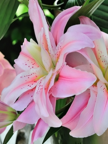 Roselily 'Felicia'