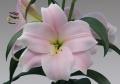 Lilium Cali