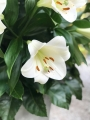 Beautiful white lilies for your garden