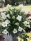 Lily Display of Longiflorum Selene lilies