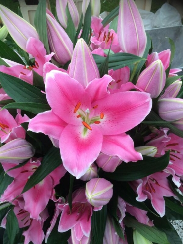 Lily 'Praiano'