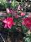 Lilium Tarrango