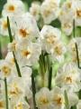 Winston Churchill Daffodils