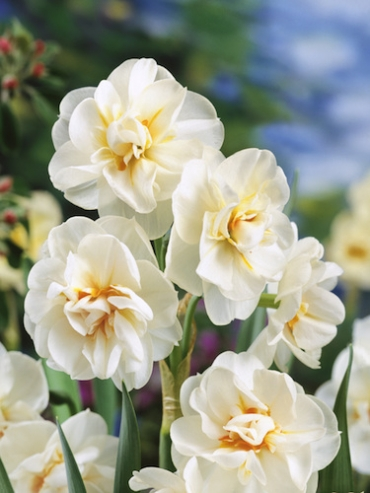 Narcissus 'Winston Churchill' (Pack of 20 Bulbs)