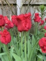 Barbados Tulips