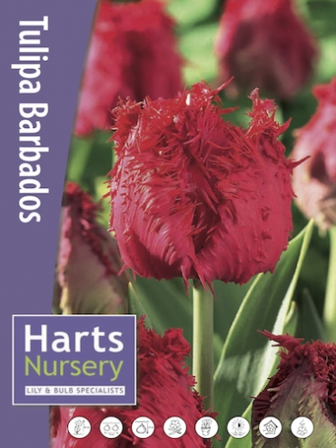Barbados (Pack of 10 Bulbs)