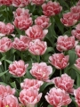 Group of Foxtrot tulips