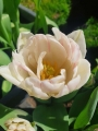 Foxtrot tulip before it matures
