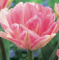 Foxtrot Tulip