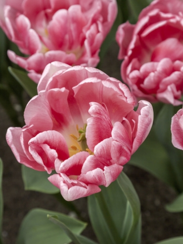 Tulip 'Foxtrot' (Pack of 15 Bulbs)