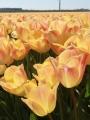Tulip 'Salmon Dynasty'