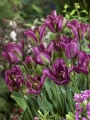Viridiflora Tulip Nightrider