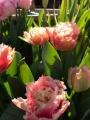Queensland Tulips