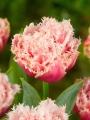 Tulip 'Queensland'