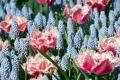 Queensland tulip and muscari