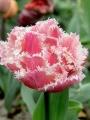 Queensland tulip opening