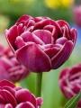 Tulip 'Dream Touch'